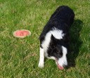 Just dropped the frisbee and moving away for another throw